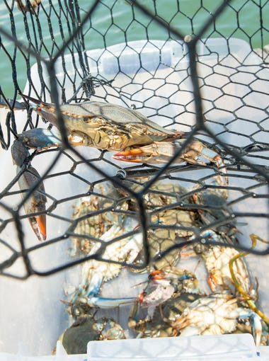 Claudia Plaskett empties crabs that she caught on the Needle Rush Point condo community dock in Perdido Key on Thursday, July 12, 2018.  Plaskett has noticed more crabs in the area since the condo association planted marsh grasses to slow erosion along the shore.