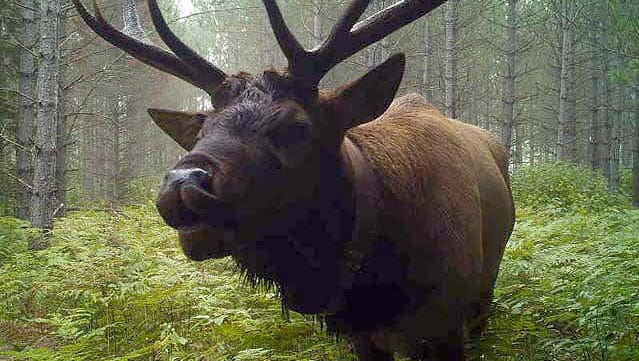 Elk can be found in central and far northern Wisconsin. Deer hunters in these areas are asked to use caution and are reminded that it is currently illegal to shoot an elk in Wisconsin.