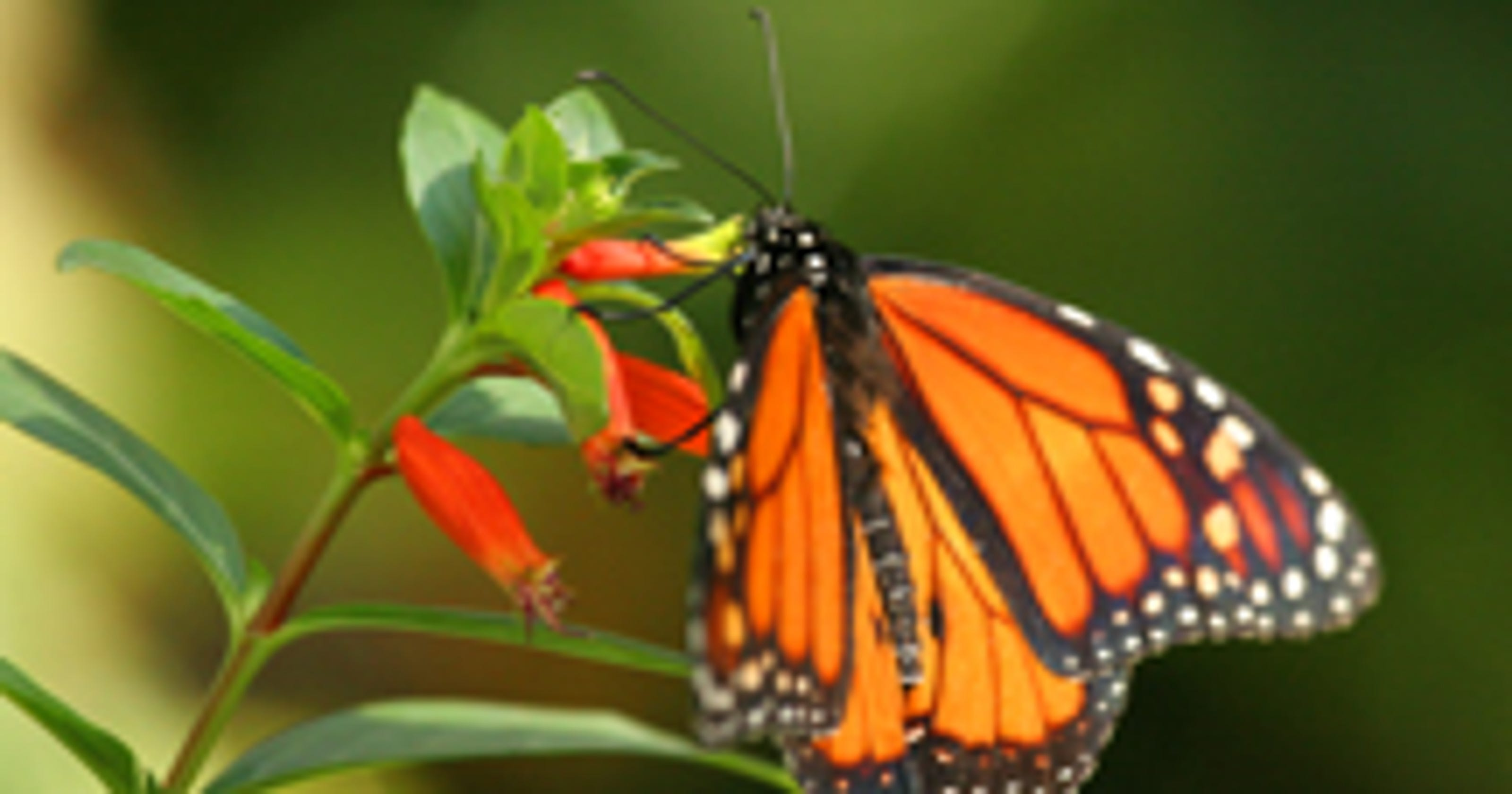 panhandle butterfly house reopening - Uf Butterfly Garden