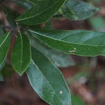 Wild Bay leaves have been used by natives for medicine and used for seasoning soups and stews.