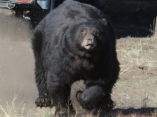 A black bear runs into the Sierra after its release by Nevada wildlife officials in 2013. During 2014, human-bear problems rose to significant levels, largely due to drought.