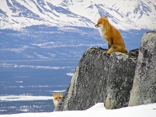 la Note de Corsair - Page 4 636171568548486272-Lake-Clark-NP-foxes-NPS