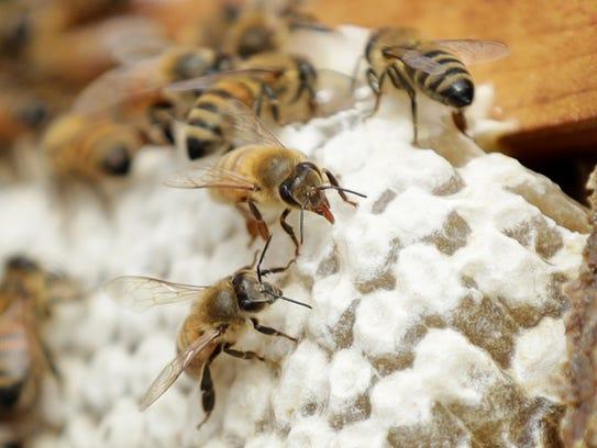 Bees cap honey in Rye chef Nick Morse's urban bee apiary