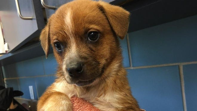 More than 300 animals are taken in by the city of Wichita Falls each month, with about 47 percent being euthanized. Changes to the city's animal ordinance aim to reduce the number of lost or homeless animals by increased enforcement of identification, microchipping and spaying/neutering of animals.