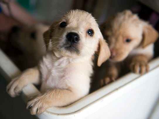 A litter of pups wait to be towel-dried from a bath