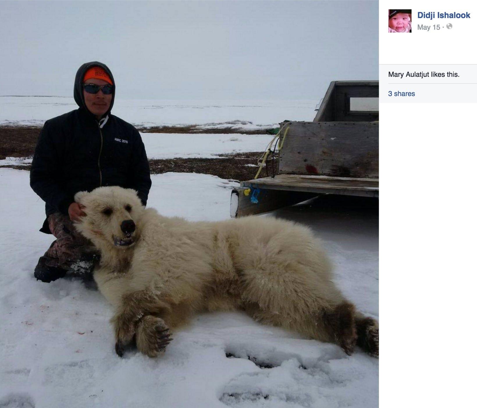 polar bear and grizzly meet