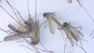 Duval county mosquitoes found with potential to spread