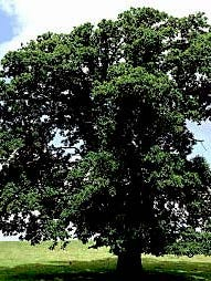 The American chestnut tree could be making a comeback, thanks to a group of scientists and volunteers.