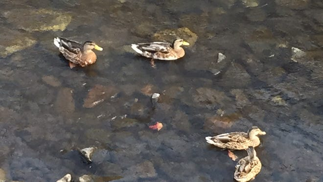 Ducks in the Rockaway River