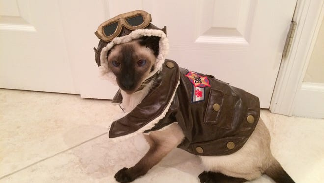 Littleman the Siamese cat will be wearing his Top Gun costume at this weekend's cat show.