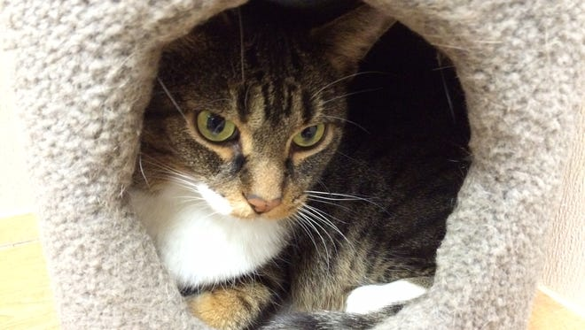 The Door County Humane Society is holding a free cat adoption event through the month of December. Pictured is Boss, a 10-year-old male stray who arrived at the shelter July 27.