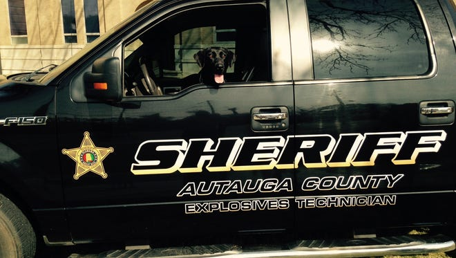 Penny the Autauga County Sheriff's Office newly hired explosives detection dog.