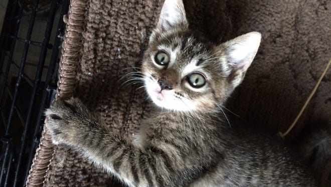 Granite is an adorable grey striped kitten who loves to run and play.