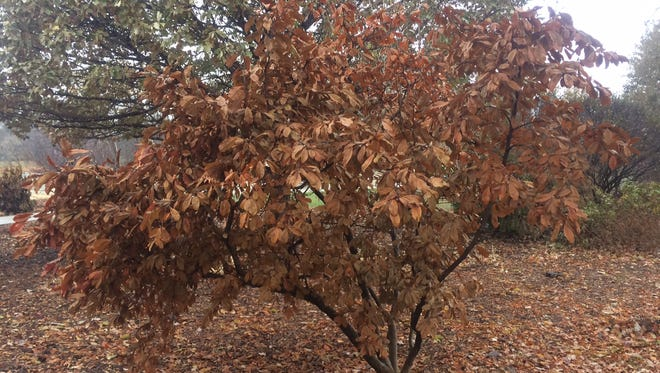 Dried brown Magnolia leaves that haven't withered off in late fall.