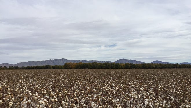 Love farming? You'll find plenty of fields to photograph in the Upper Valley, Lower Valley and the back road to Mesilla, where this photo of cotton was taken. Remember, though: Leave nothing, take nothing, and respect private property.
