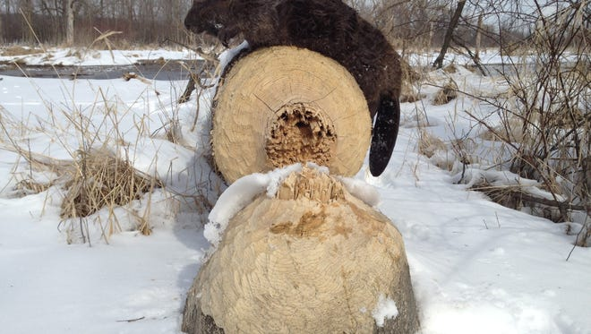 A beaver was spotted in Simmons Woods near Pewaukee Lake during early 2018.