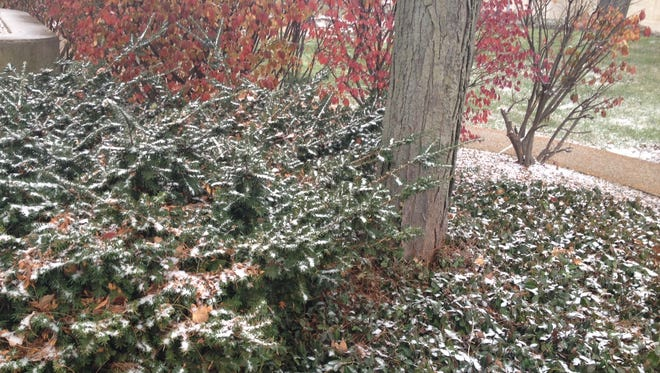 Gently falling snow collects on bushes in downtown Muncie Sunday afternoon.
