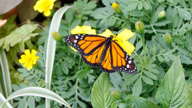 A monarch butterfly at the 2016 Butterfly Show.
