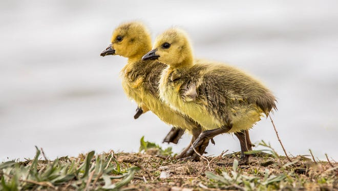 David Rabenberg took top marks in the Great Falls Goslings Contest with his photo of two strutting wee geese.