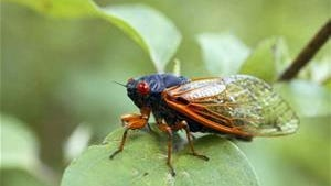 A periodical cicada sits on a tree leaf near Park View, Iowa.