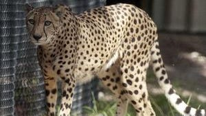This is one of the cheetahs introduced Saturday at the Naples Zoo.