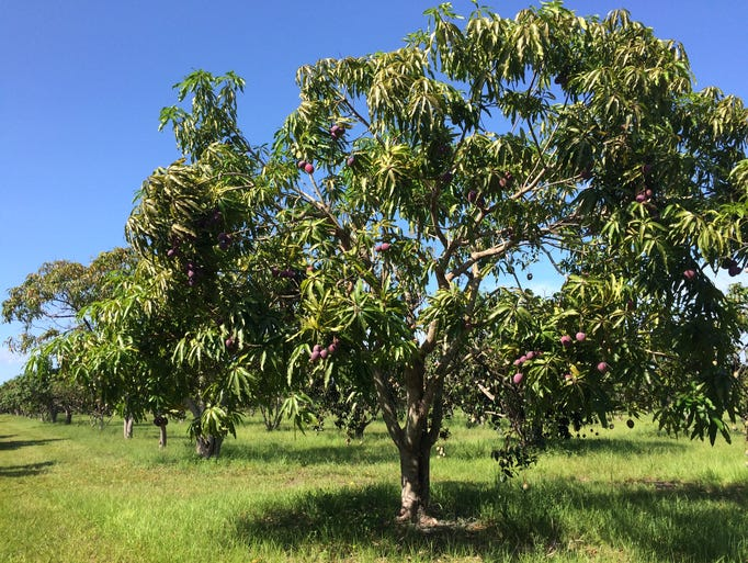 The last of The Mango Factory's Irwin mangoes drooped