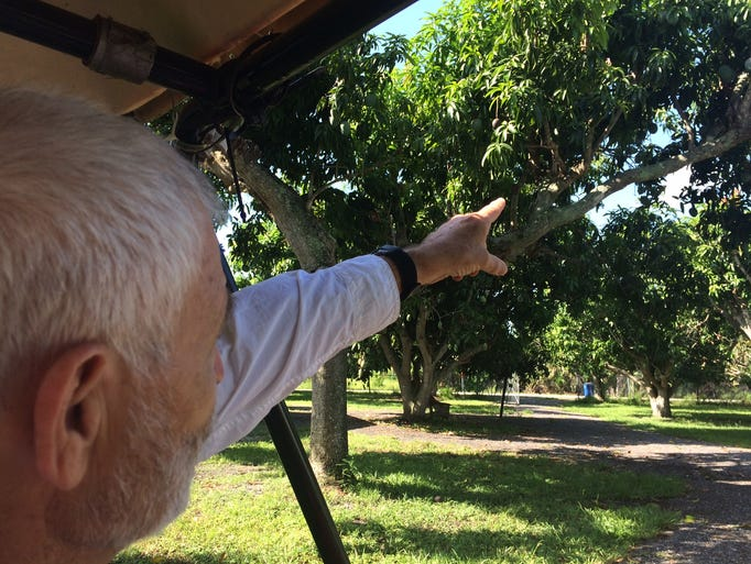 Owner Jack Flowerree coasts through his mango trees