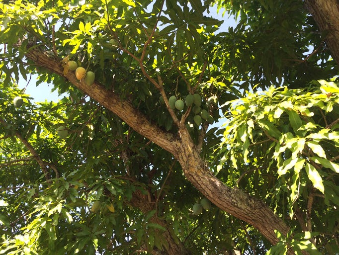 This Cambodian mango tree is one of more than 1,000