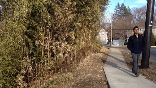 The village of Mamaroneck is considering legislation aimed at curtailing the spread of bamboo, seen here on North Barry Extension. The plant, a type of grass, grows and replicates quickly and can be difficult to manage.