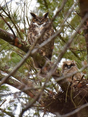 An imposing great horned owl and her owlet.