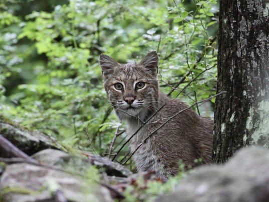 New Jersey bobcat