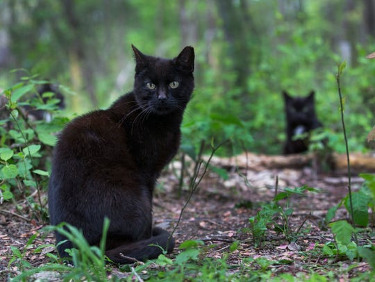 Feral cats wander around their enclosure at the Cat Sanctuary in Jackson, New Jersey.