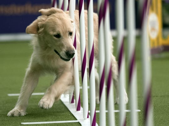 Westminster Dog Show Agility (2)
