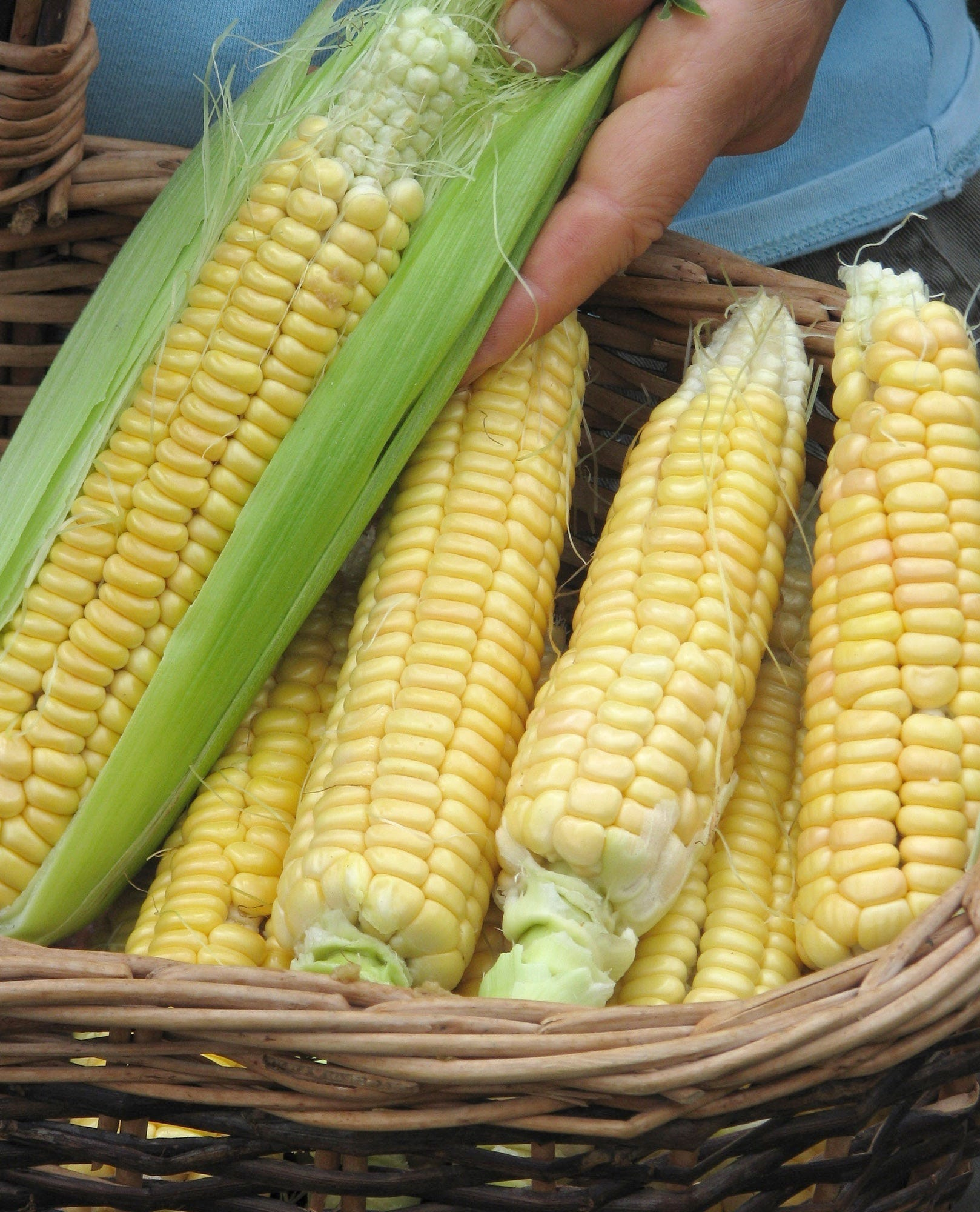 How to grow sweet corn that tastes great in your own garden