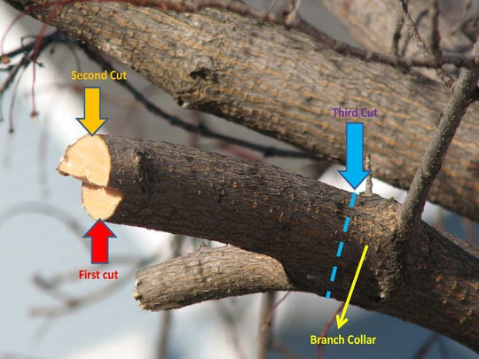 The three-point cut method is the best way to prune limbs.
