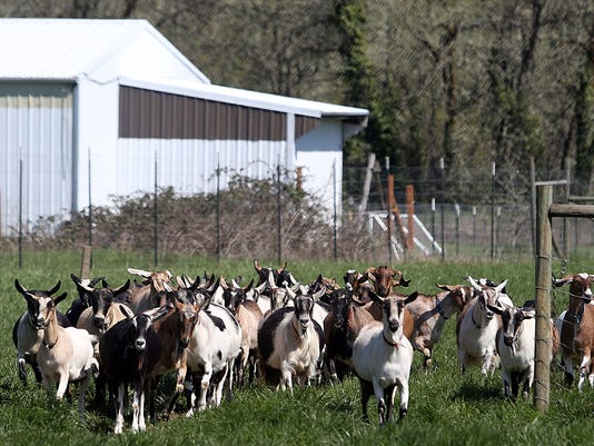 Milk goats at Fairview Farms Dairy