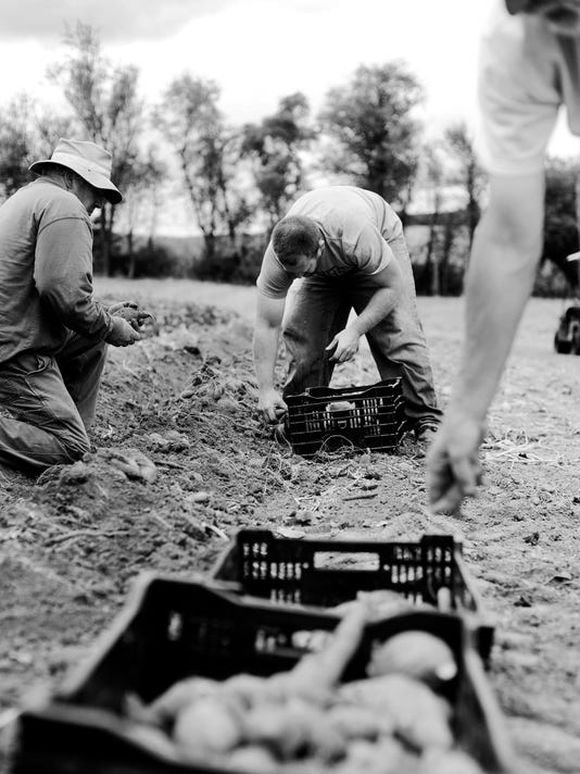 """From left Larry Frey, son Brett Frey, and friend Tim Gilson harvest sweet potatoes at Larry's home in Wellsville Saturday, September 14, 2013. Larry and Brett have been growing sweet potatoes for about seven years, and sell them for """"fun money"""".  DAILY RECORD/SUNDAY NEWS - KATE PENN"""