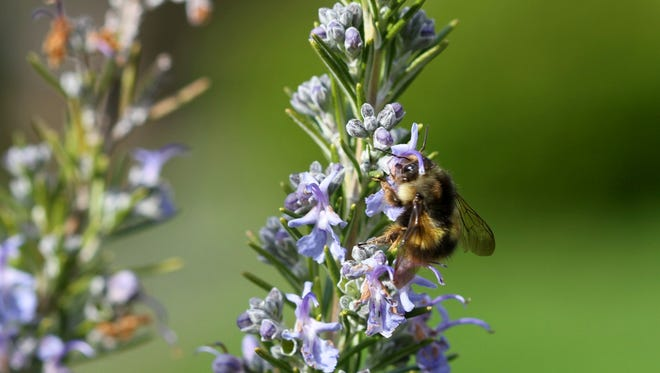 A bumble bee searches for nectar from a Rosemary plant. Honeybees are irreplaceable as pollinators but you can somewhat offset their loss by attracting beetles, butterflies and moths, dragonflies, feral bees, bumblebees and wasps, among others.