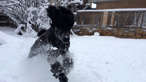 Beth and Bob Nieman's standard Poodle, Nick, enjoyed frolicking in the 15 inches of snow in Carlsbad.
