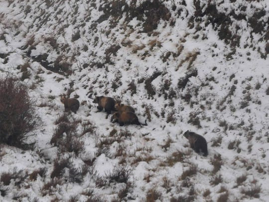 These five grizzly bears were spotted 100 yards from