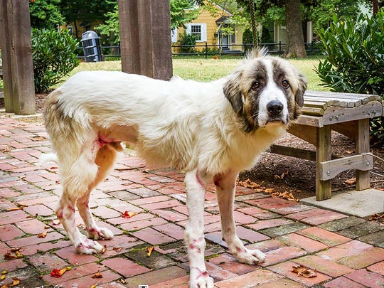 This photo shows the Great Pyrenees, Forrest a month after the dog was allegedly dragged by Abdel Khaliki Mahmoud F., 68, who faces one count of animal cruelty, police said.
