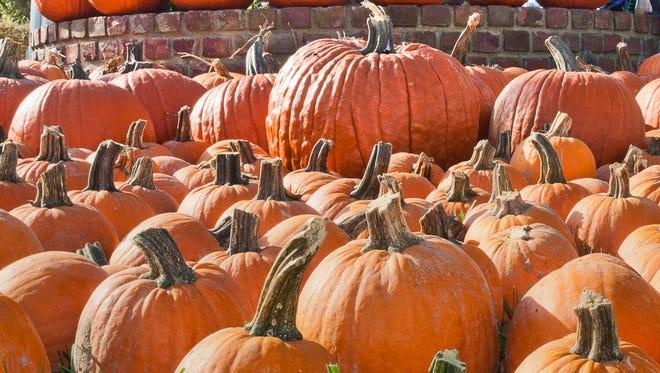 An array of pumpkins at a past Beacon Sloop Club Pumpkin Festival.