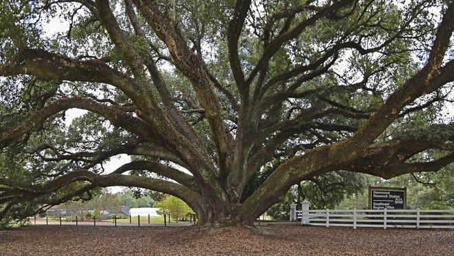 The Edna Szymoniak live oak at the entrance to the LSU AgCenter Hammond Research Station near Hammond.