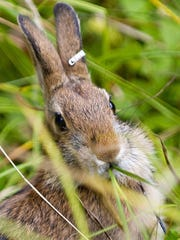 The U.S. Fish & Wildlife Service has proposed protecting 1,500 acres in Dutchess County as part of a six-state wildlife grasslands refuge. The shrubby environment is needed to support a number of species, including the New England Cottontail rabbit.