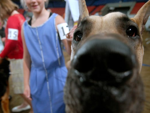 Sydney Hickman, 11, of Georgetown, Ky. waits to show her Great Dane, Remington, at the Kentucky State Fair 4-H Dog Show.  Aug. 10, 2014