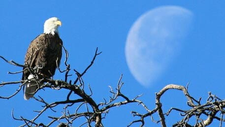 Jim Tolley spied the morning moon and a bald eagle side by side in Tusayan near the Canyon Plaza Resort. The morning moon and a bald eagle, in Tusayan near the Canyon Plaza Resort.