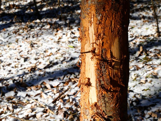 Bark rubbed off of a tree by the deer inside the Binghamton