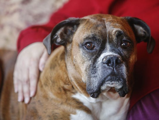 DNA from saliva samples linked this boxer dog now named Bubba to the fatal attack of a rural Rogersville man in 2015.
