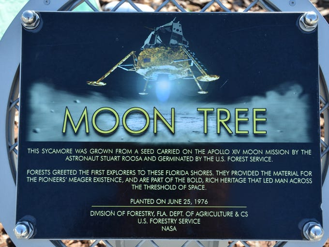 """The """"Moon Tree,"""" a sycamore planted at Kennedy Space"""