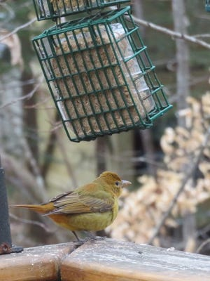 A summer tanager, distinguished in winter from a scarlet tanager by the mix of orange or reddish-brown and greenish-yellow feathers, feeds on suet at Pam Allen's Oak Ridge home Jan. 19.